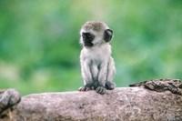 Framed Tanzania, Ngorogoro Crate, Wild vervet monkey baby