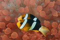 Framed Two anemonefish in protective anemone, Raja Ampat, Papua, Indonesia