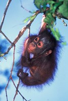 Framed Baby Orangutan, Tanjung Putting National Park, Indonesia