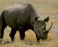 Framed Rhinoceros