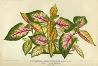 Framed Alternanthera Amabilis Tricolor