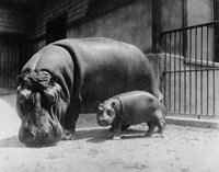 Framed Adult and Baby Hippopotamus