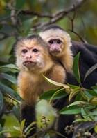 Framed White-Throated Capuchin Monkeys (Cebus capucinus) on tree, Tortuguero, Costa Rica