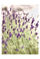 Framed Lavender 2