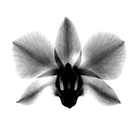 Framed Orchid, Phalenop. X-Ray