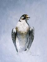 Framed Peregrine Falcon