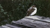 Framed Tree Swallow