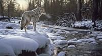 Framed Winter Creek - Coyote