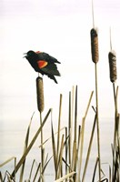 Framed Early Arrival- Red- Winged Blackbird