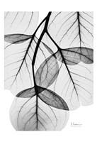 Framed Silver Age Eucalyptus