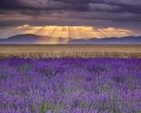 Framed Sunbeams over Lavender