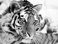 Framed Tiger