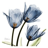 Framed New Blue Tulips C54
