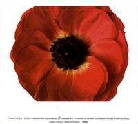 Framed Poppy In Bloom