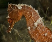 Framed Close-up view of an Orange Seahorse