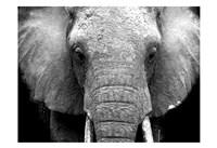Framed Elephant Lore