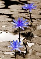 Framed Pop of Color Lotus Flowers