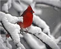 Framed Cardinal
