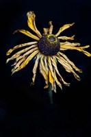 Framed Dried Sunflower