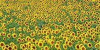 Framed Sunflower field, France
