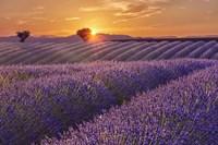 Framed Lavender Field at Sunset