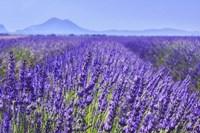Framed Lavender Field Close Up