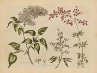Framed Herbal Botanical I