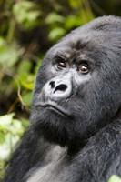 Framed Silverback Mountain Gorilla, Volcanoes National Park, Rwanda
