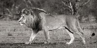 Framed Lion Walking in African Savannah