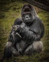 Framed Male Gorilla Black