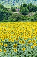 Framed Sunflower Field 01
