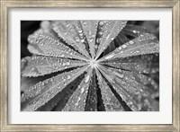 Framed Raindrops on Lupine