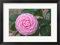 Framed Pink Passion Camillia