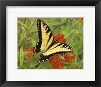 Framed Black Yellow Butterfly II