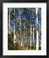 Framed Aspen Grove II