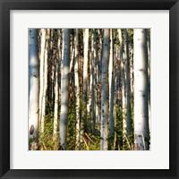Framed Aspen Grove I