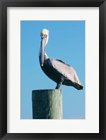 Framed Pelican Perched II