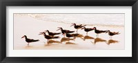 Framed Black Skimmers II
