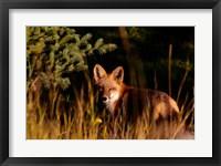 Framed Fox Stare