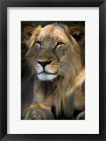 Framed Cape Lion