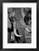 Framed Tusks