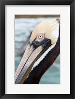 Framed Bayside Pelican