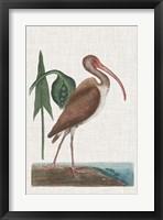 Framed Catesby Heron V