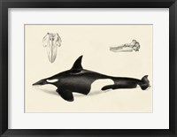 Framed Antique Whale Study I