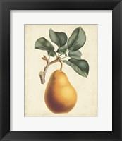 Framed Antique Pear Botanical I