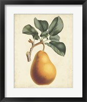 Framed Antique Pear Botanical I