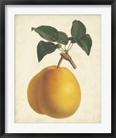 Framed Antique Pear Botanical II