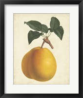 Framed Antique Pear Botanical II