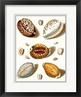 Collected Shells III Framed Print