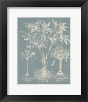 Framed Delicate Besler Botanical II